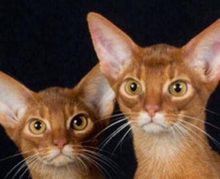 红色阿比西尼亚猫颜色详解