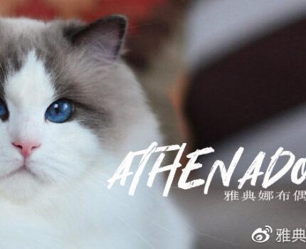2020年繁育计划丨雅典娜布偶猫舍