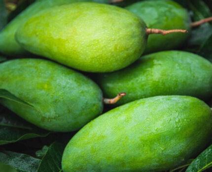 芒果中的巨无霸你吃过吗?