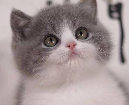 猫咪发情那些事,猫奴一定要提前知道!