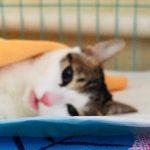 猫咪绝育的最佳时间,究竟是第一次发情前还是发情后?