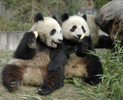 """香港海洋公园两只大熊猫首次成功自然交配 今年有望""""添丁"""""""