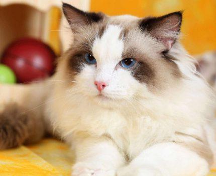 猫到底应不应该做绝育?绝育对猫咪原来有这么多好处