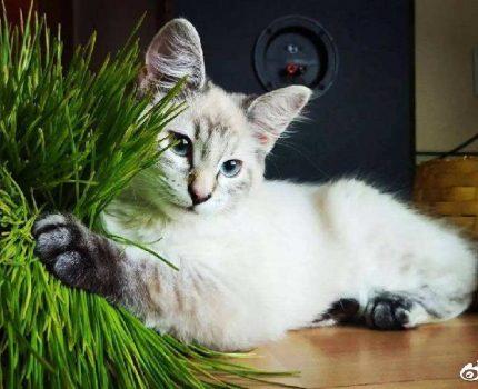 猫不吃猫草,只吃化毛膏可以吗?