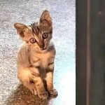 小流浪猫主动上门求收养,趴在门缝向里张望:您家缺猫吗?