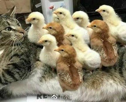 调皮小鸡踩着猫咪身上蹿下跳,还啄猫咪的脑袋,怕是不要命了吧