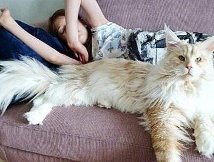 缅因猫虽然长相很凶猛,但性格并不和你想象的一样!
