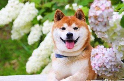 柴犬为什么成为最适合在城市饲养的狗?看完你就懂了