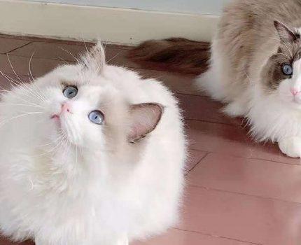 猫咪做b超能看到肚子里的毛球吗?