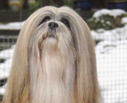 """我国本土犬种之""""拉萨犬"""":非常棒的伴侣和守卫犬,外表超拉风!"""