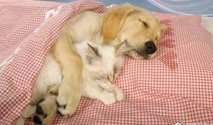 猫狗可以和平共处吗?以下十种狗,可能会成为猫猫的好朋友