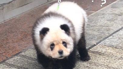 """四川街头有人遛""""熊猫""""?真相原来是这样,就问你服不服"""
