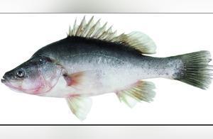 红烧金目鲈