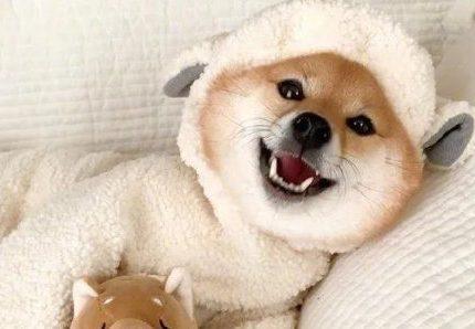 养柴犬的人越来越多,有什么优点值得呢?