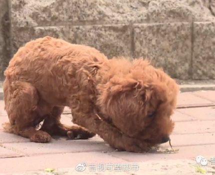 """新买宠物狗几天就生病,难道买到了""""病狗""""?"""