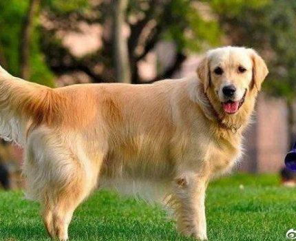 夏天到了,建议宠主不要有下面6个遛狗行为,对狗狗有伤害