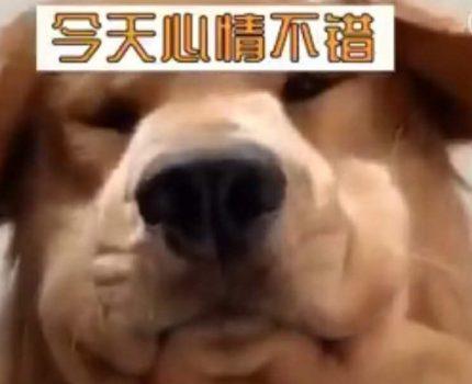两只狗狗的视频聊天,你见过吗?简直笑喷