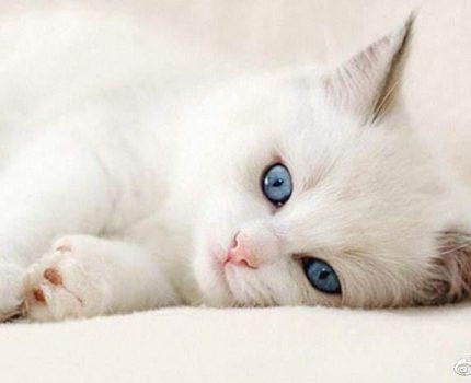 养猫必须吃猫粮吗?吃猫粮和直接吃肉比有哪些好处?