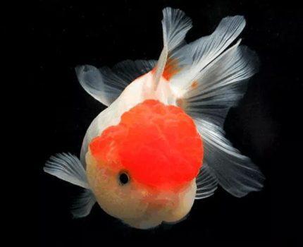 高颜值、少生病、寿命长的金鱼是如何饲养的?