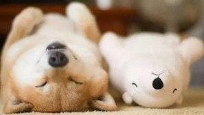 最适合北京 上海 重庆 西安 上班族养的狗狗非柴犬莫属