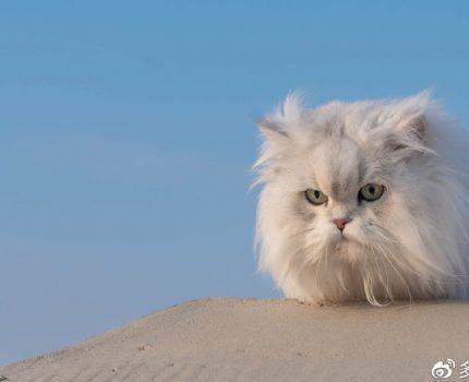 全球最受欢迎的10种猫咪,你的猫上榜了吗