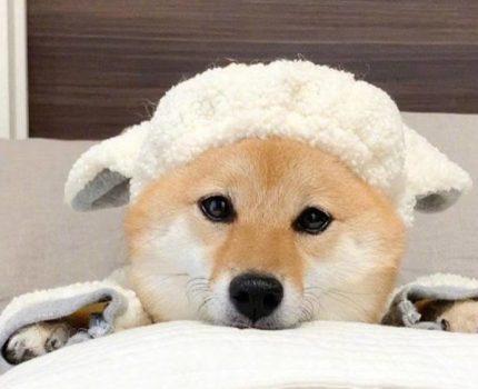 深圳柴犬价格多少 柴犬价格的决定因素