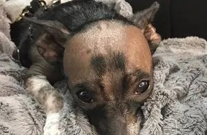 狗狗因基因秃头没人爱,一主人坚持领养:我家有相似的狗狗