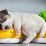 这些狗狗平均寿命较短,有你家的吗?
