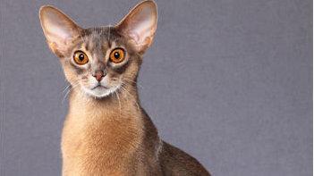 买什么猫好?最优雅的芭蕾舞者——阿比西尼亚猫