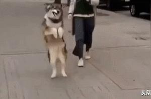 哈士奇化身兔子,走路蹦蹦跳跳,网友:这就是传闻中的湘西赶狗?