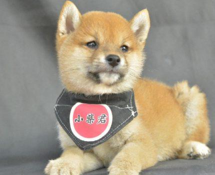 柴犬那么可爱 看看你适不适合养柴犬?