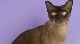 买什么猫咪好?古老的贵族缅甸猫,你值得拥有