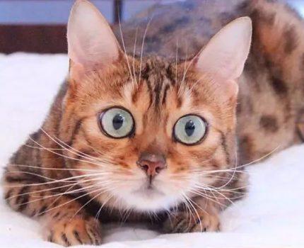 影响猫咪颜值的关键:是否开启美瞳