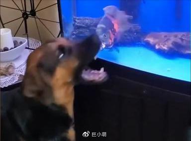 狗子和鱼互看不爽,一言不合就互相激烈撕咬,场面激烈又出奇舒适