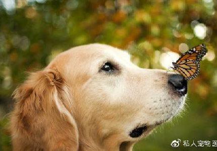 安爸告诉您狗狗的胡子它们到底有什么用呢?