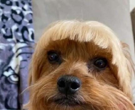 理发师看狗狗刘海太长,就想帮忙修剪一下,可结果…