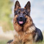 最会看家护院的5种狗狗,养了它们,家里不会让贼惦记了