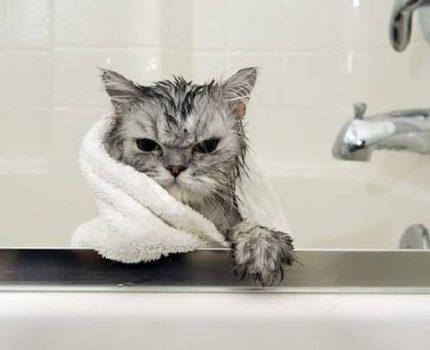 管家说养猫:多久给猫咪洗一次澡?