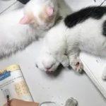 小主人在写作业时,两只小猫咪在一旁陪到睡着,模样特别可爱
