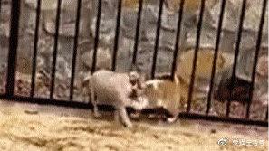 在路上碰过一面后,流浪猫每天穿过栏杆,却只是找狗玩!