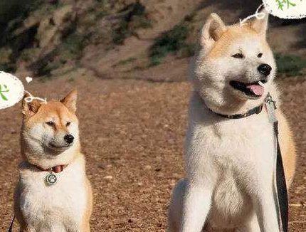 柴犬与秋田犬的区别是什么?