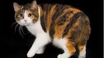 世界八大名猫之一:马恩岛土著——曼岛无尾猫