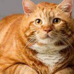 【吸猫科普帖】橘猫为什么那么胖?
