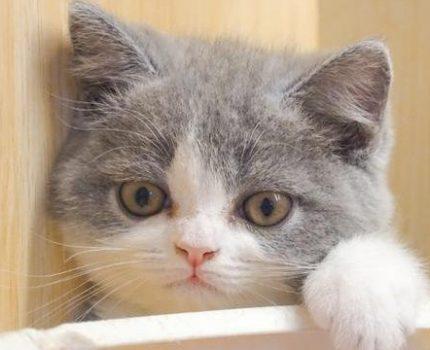 英国短毛猫饲养需知:这小胖墩儿,虽然好养但也有小麻烦
