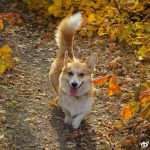 狗狗尾巴的七种姿态,分别代表不同情绪,你知道几个?