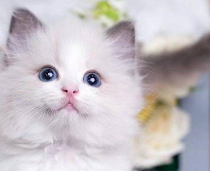 应激反应是猫传腹的最大诱因!