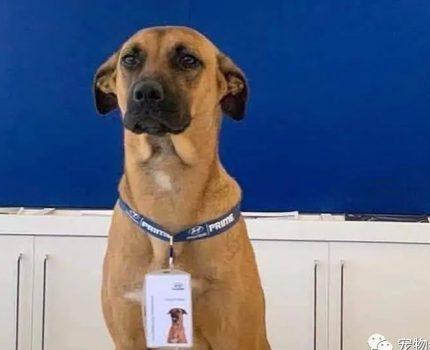流浪狗每天在4S店招揽客人,业绩噌噌涨,直接被聘为销售顾问!