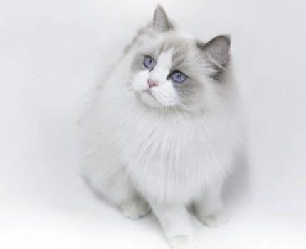 英短和布偶猫的后代
