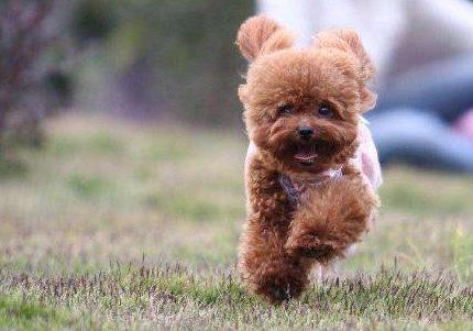 小卷毛的狗是什么品种?其中一种是法国国犬,如今国内也很常见