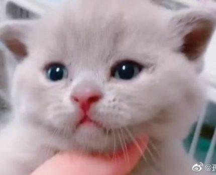 家养英短猫咪找新家